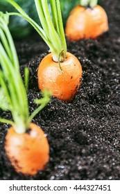 Fresh carrots in vegetable garden or a field. carrot Harvest