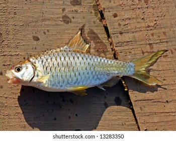 fresh catched fish