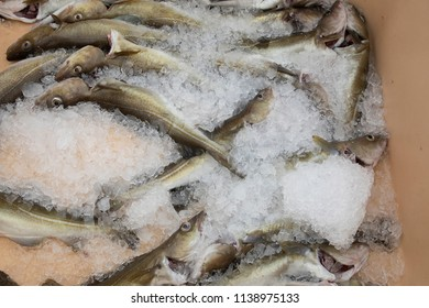 Fresh Caught Atlantic Cod Fish Packed in Ice On Grimsey Island Iceland