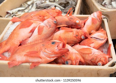 Fresh Caught Atlantic Rose Fish packed in Ice on Grimsey Island Iceland