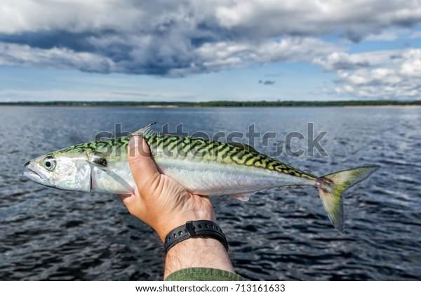 Fresh caught mackerel in anglers hand