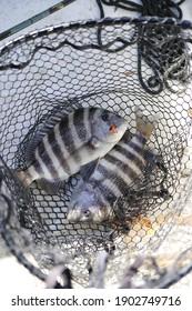 fresh caught sheepshead in net saltwater fishing