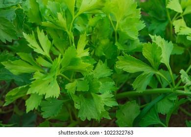 Fresh Celery green in the garden Growing up (Vegetable)