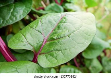 Fresh Ceylon Spinach green plant tree growing on vine in the plantation vegetable garden / Basella alba - Malabar Nightshade