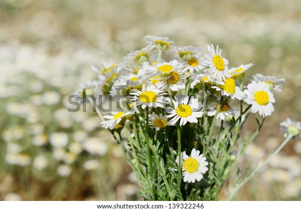 Fresh chamomile bouquet on the meadow