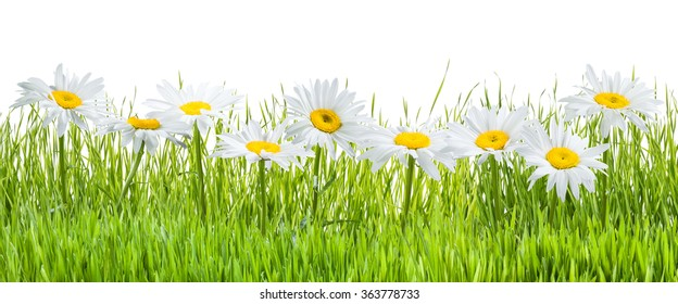 Fresh chamomile flowers and grass isolated on white background