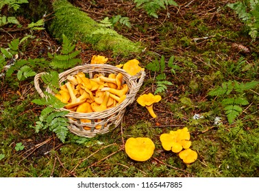Fresh Chanterelles in the woods