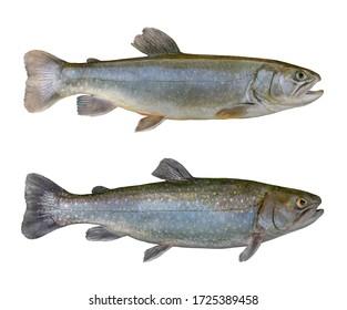 Fresh char fish isolated on white background (Salvelinus confluentus)