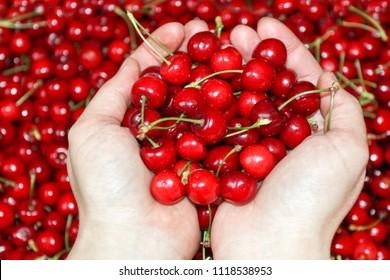 Fresh cherries fruit in hand on sweet cherry background, view from above