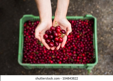 Fresh cherry after picking