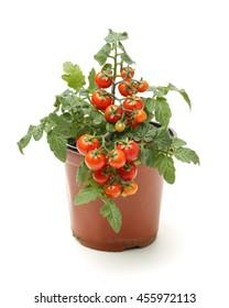 Fresh cherry tomato plant in a jar on white background