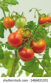 fresh cherry tomatoes on the bush. in close-up