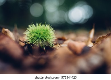 Fresh chestnut fruit in its green spiny shell on fallen leaves in middle of forest. Background is nicely blurred in form of rings. Shot with very shallow depth of field - focus on a chestnut.