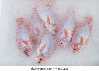 fresh chilled fish Tilapia in ice and water