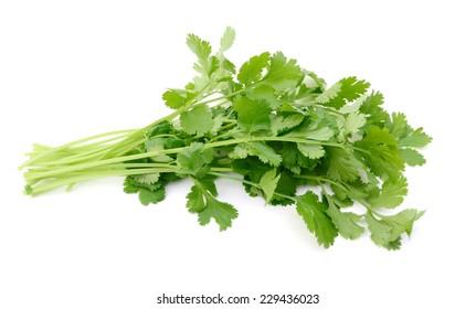A fresh cilantro bunch