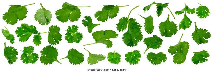 Fresh cilantro twigs isolated on white background