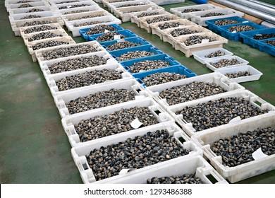 Fresh Clams on crates in the fish market. Ruditapes philippinarum. Bivalve mollusc of Galicia Spain