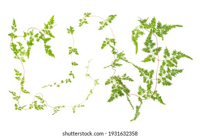 fresh climbing fern leaves isolated on white background, overhead view