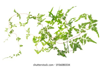 fresh climbing fern leaves and vines isolated on white background