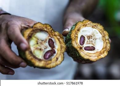 Fresh Cocoa fruit in farmers hands. Organic cacao fruit - healthy food. Cut of raw theobroma in Sri Lanka plantation .