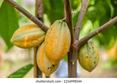 Fresh cocoa from the garden