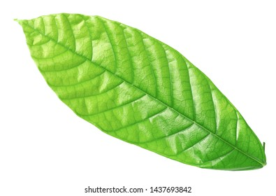 fresh cocoa leaf isolated on white background