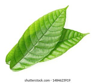 fresh cocoa leaves isolated on white background, top view