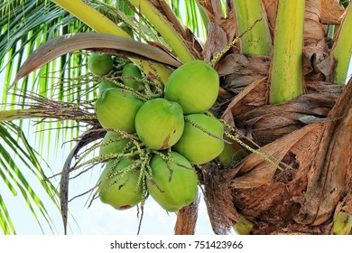 Fresh Coconut Fruits and Green Leaves on Tropical Palm Tree.