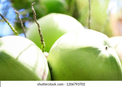 fresh coconut and numerative of coconuts,coconut cluster on coconut tree,