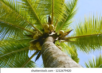 fresh coconut on the tree, coconut cluster on coconut tree,