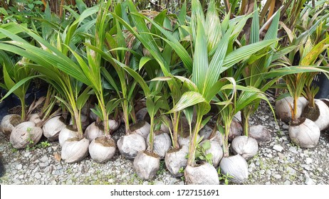 fresh coconut seedlings ready to plant