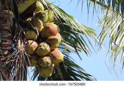 Fresh coconuts from non-toxic origin.