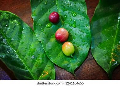 Fresh Coffee bean Arabica