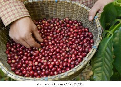 Fresh coffee bean in basket