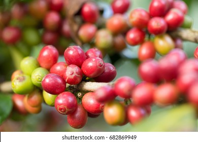 Fresh coffee beans on branch of coffee plant.