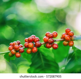 fresh coffee beans in coffee plants tree