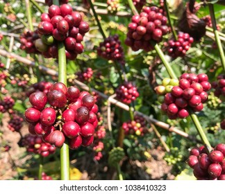Fresh coffee beans are ripening on the branches or tree of coffee plantations. Wait for the harvest to prepare for the dried coffee beans. Industrial and agricultural concepts. Vintage tone style.