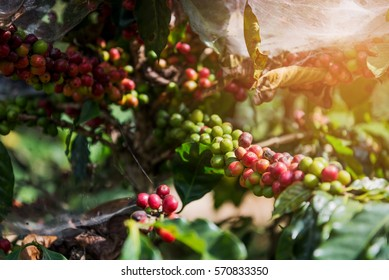 Fresh Coffee Beans Ripening on the Coffea Arabica Tree