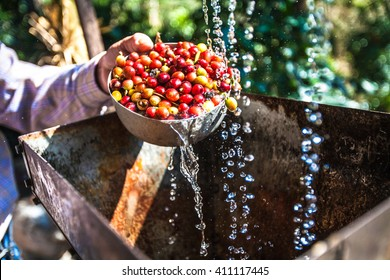 fresh coffee beans washing wet process