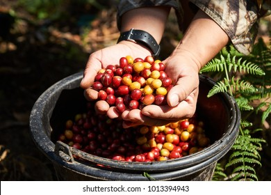 fresh coffee cherry , coffee beans from coffee farm