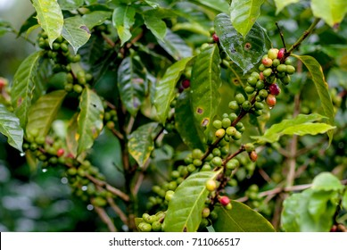 fresh coffee tree