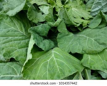 Fresh Collard Green Leaves Background