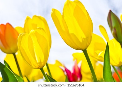 Fresh colorful tulips in warm sunlight