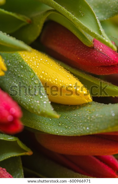 Fresh colorful tulips with water drops