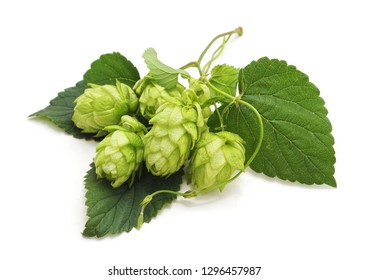 Fresh cones of hops isolated on a white background.