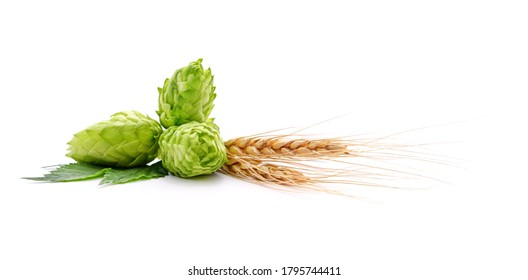 Fresh cones of hops and wheat isolated on a white background.