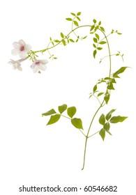 Fresh Convolvulus flowers; isolated on white background