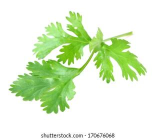 Fresh coriander leaf isolated on white background