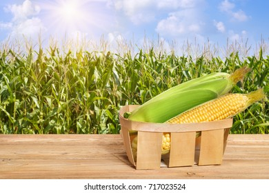 fresh corn cobs in basket on wooden table. Agriculture and harvest concept