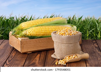 fresh corn cobs in box and dry corns in bag on wooden table with green maize field on the background. Agriculture and harvest concept